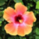 Hawaii flowers orange hibiscus ginger bougainvilla