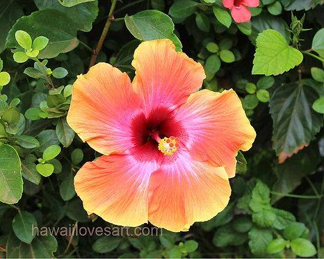 16x20 Orange Hibiscus