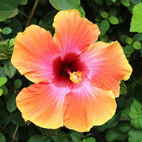 14x14 Orange Hibiscus