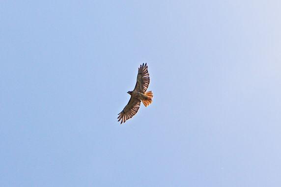 Stone Mountain Hawk Watch