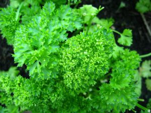 Parsley-300x225