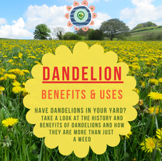 Dandelion Benefits & Uses