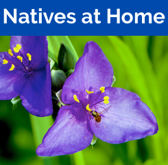Native Plants at Home