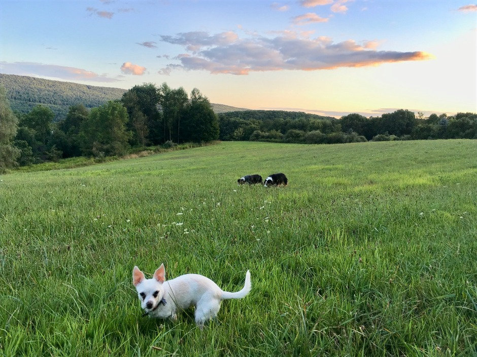Scenic Chihuaha