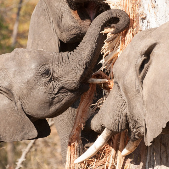 Elephants Debarking