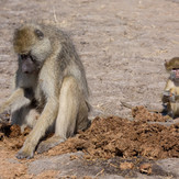 Baboon Mother with Young