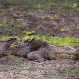 Crocodile South Luangwa