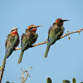 Bee Eaters South Luangwa