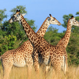 Thornicroft Giraffes South Luangwa