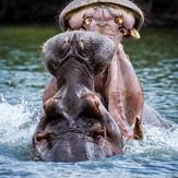 Hippos Luangwa River