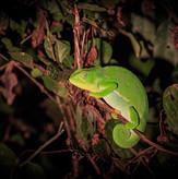 Chameleon Sighting