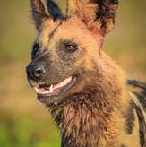 Wild Dog on Safari South Luangwa