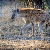 Hyena on Safari South Luangwa