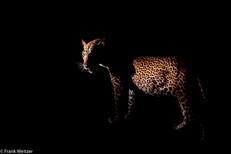 Leopard Nightshot