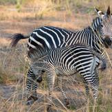 Zebras South Luangwa