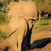 Elephants on Safari South Luangwa