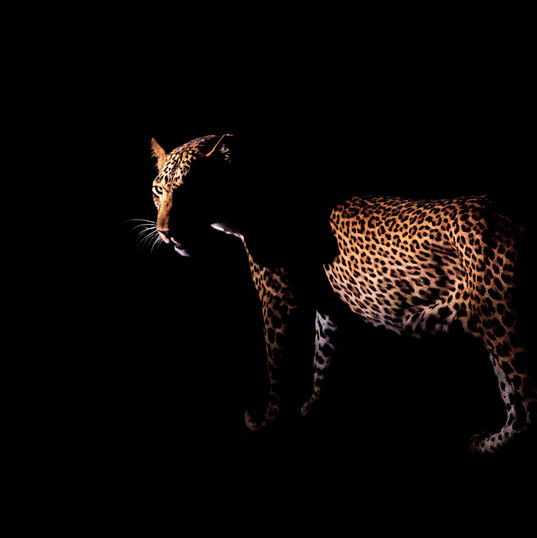 Leopard Night Shot