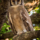 Owl South Luangwa