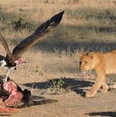 Lion Cub at Kill