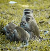 Vervet Monkeys Thornicroft Lodge