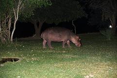 Hippo in Lodge.jpg