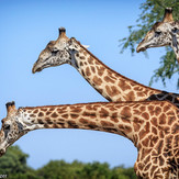 Thornicroft Giraffes South Luangwa Safari