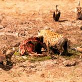 Hyenas at Kill