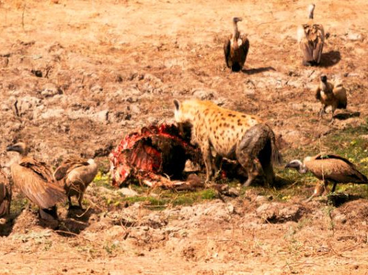 Hyenas at Kill