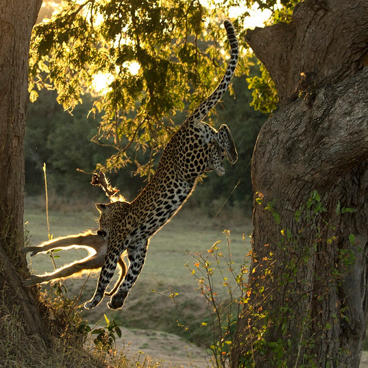 Leopard Kill South Luangwa by Tony Yeomans