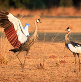 Crowned Cranes South Luangwa
