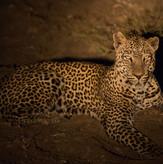 Leopard Safari South Luangwa