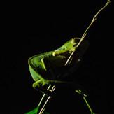 Night Safari Chameleon
