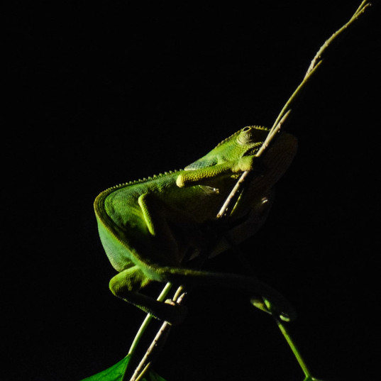 Night Safari Chameleon