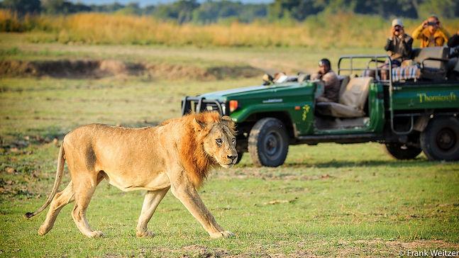 Male Lion Sighting Safari