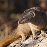 Slender Mongoose SOuth Luangwa