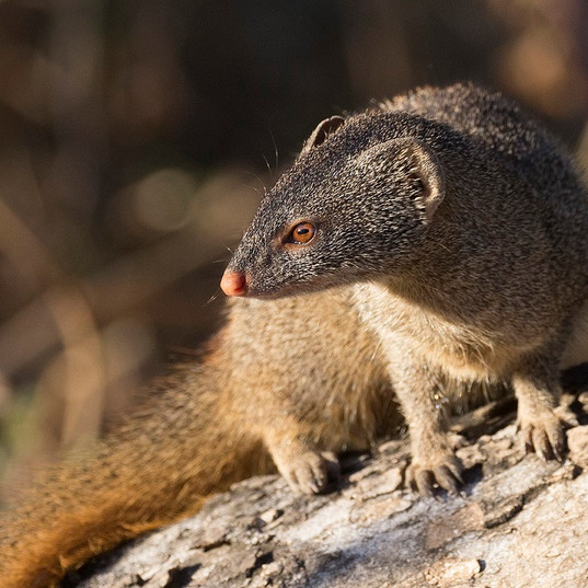 Slender Mongoose SOuth Luangwa