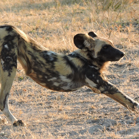 Wild Dog South Luangwa