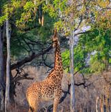 Thornicroft Giraffe South Luangwa
