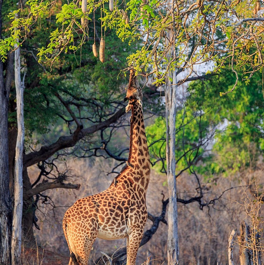 Thornicroft Giraffe South Luangwa