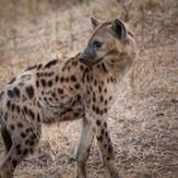 Hyena South Luangwa