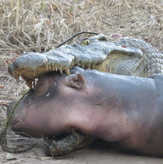 Crocodile Hippo Sighting