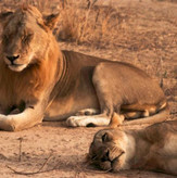 Lion Couple South Luangwa