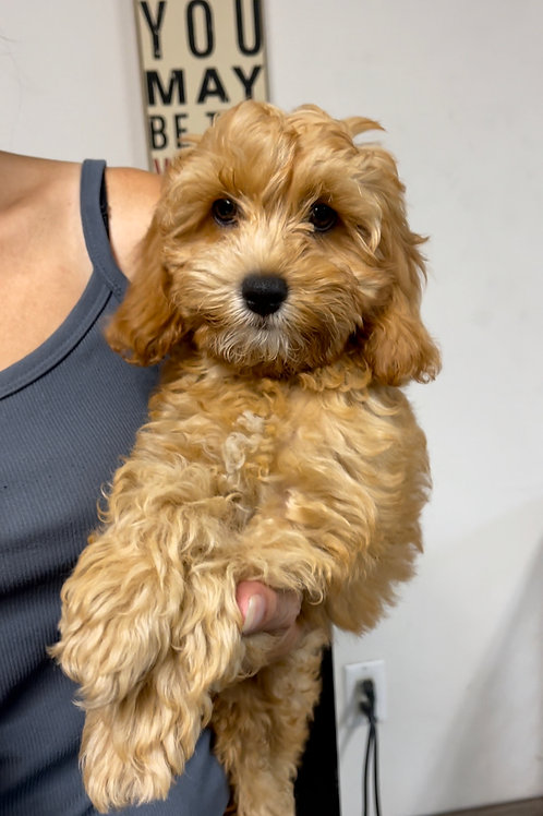 """F1B Caverpoo, Male, Parents weight 12 & 17 lbs  """"Scooby doo"""""""