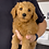 """Thumbnail: F2BB Goldendoodle, Male """"Rowan"""" Parents weight 28 & 29 lbs"""