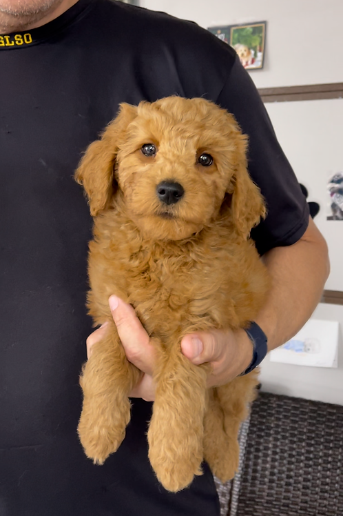 """F2BB Goldendoodle, Male """"Rowan"""" Parents weight 28 & 29 lbs"""