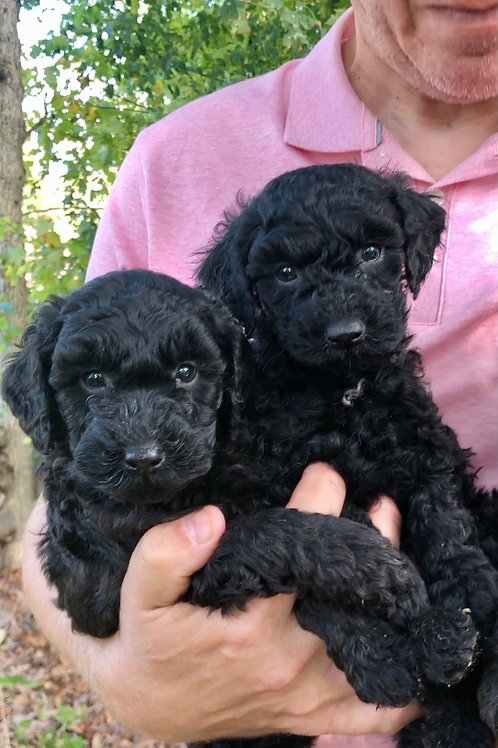 F2BB Mini Goldendoodles, Males (Jimmy & Reagan)
