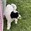 "Thumbnail: F1B Mini Sheepadoodle, Male, ""Snoopy"" Wonderful Family dogs!"