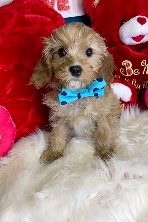 "F2 Cavapoo, Male ""Baby Beau"" I was half the size of my litter."