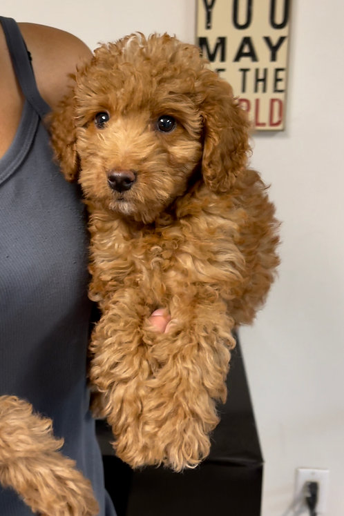 """F1BB Petite/mini Goldendoodle, Male, """"Reno"""" Parents Weight: 12.& 20 LBS"""