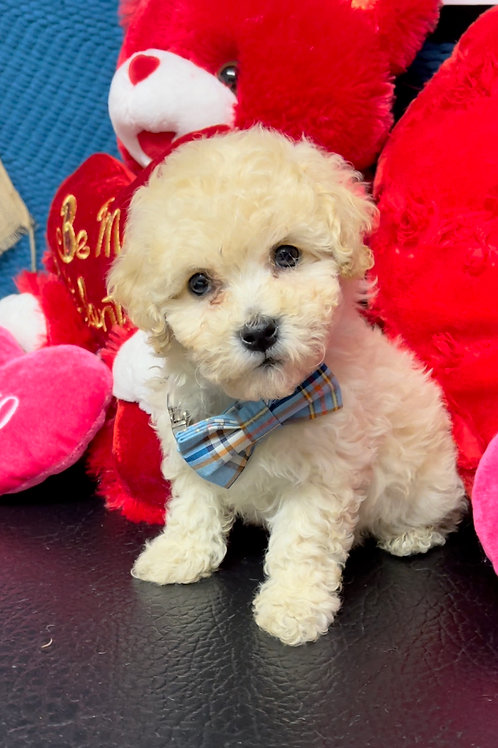 "Poochon, (Bichonpoo) Male, ""Poochie"""